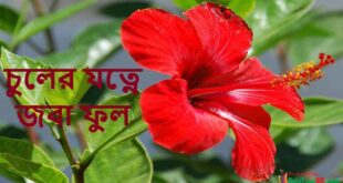 Use of Hibiscus Flowers for Hair Care, চুলের যত্নে জবা ফুল